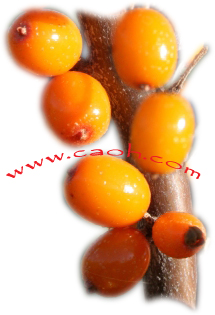 Seabuckthorn berries from CAOH - Cannot be Copied - Copyright CAOH 2011
