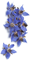 borage-seed-oil-borago-officinalis