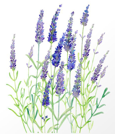 Organic Lavender Water Color