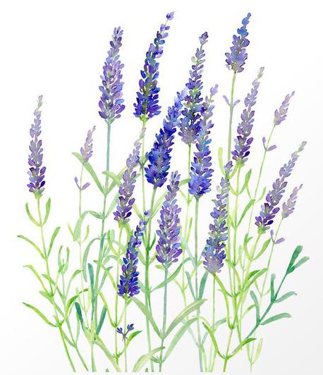 Organic Lavender Water Color